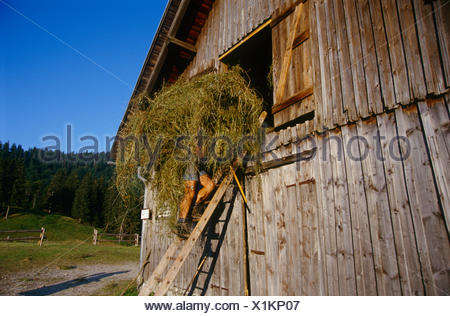 Herdsman on the shieling Ebenforst carrying hay into the barn, Kalkalpen National Park, Upper Austria, Europe - Stock Photo