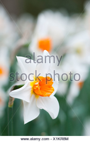 Narcissus with white petals and orange centre. Single daffodil flower with others massed behind, shallow depth of field. - Stock Photo