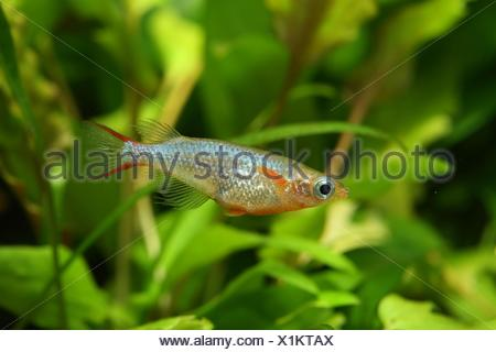 (Oryzias woworae) Male in coloration swimming in aquarium - Stock Photo