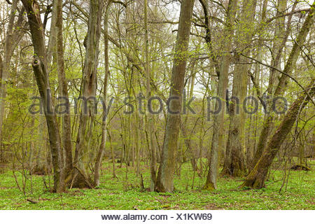 Biggest Small-leaved Lime forest in Central Europe (Tilia cordata), Colbitzer Lindenwald nature reserve, Saxony-Anhalt, Germany - Stock Photo