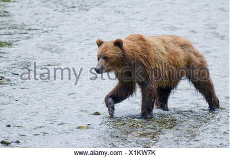 Grizzly Bear (Ursus arctos horribilis) Adult watching for salmon in spawning stream. In costal areas grizzliy frequents streams - Stock Photo
