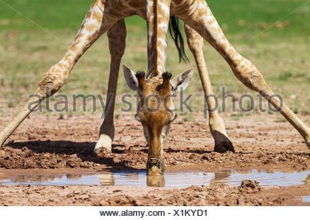 Southern Giraffe (Giraffa giraffa), female drinking at rainwater pool, rainy season with green surroundings, Kalahari Desert - Stock Photo