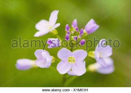 Cuckoo Flower or Lady´s Smock (Cardamine pratensis), Brassicaceae, Cruciferae. - Stock Photo