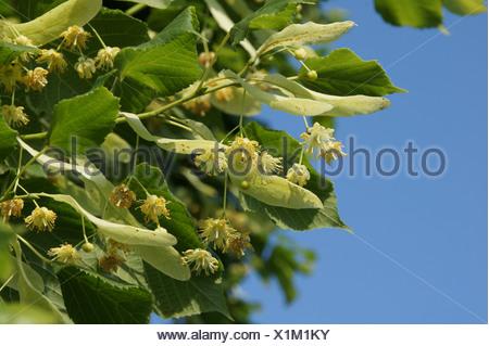 Common Lime - Stock Photo
