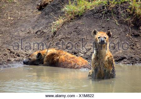 spotted hyena (Crocuta crocuta), two hyenas in a wallow, Kenya, Masai Mara National Park - Stock Photo