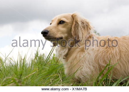fawn coloured long haired Daschund outdoors - Stock Photo