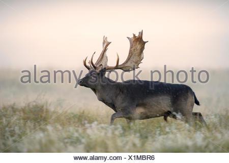 Fallow deer (Dama dama), buck, black morph, mist, morning light, Zealand, Denmark - Stock Photo