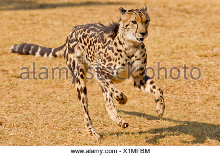 Running Cheetah (Acinonyx jubatus), a rare king cheetah with its distinct fur pattern due to mutation - Stock Photo