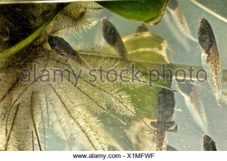 Red eyed tree frogs, Agalychnis callidryas, in transition between tadpole and frog. - Stock Photo