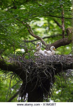 Black stork (Ciconia nigra), Rhineland-Palatinate, Germany - Stock Photo