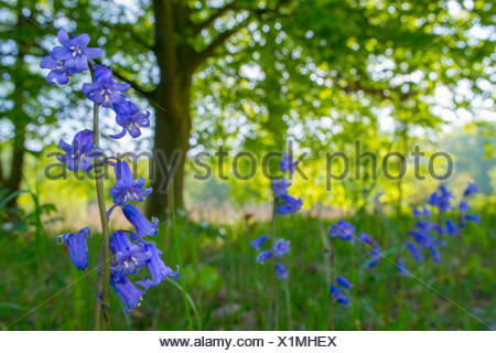 A field with common bluebells - Stock Photo