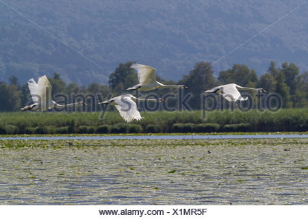 mute swan (Cygnus olor), four flying over pond-lilies, Germany, Bavaria, Lake Chiemsee - Stock Photo