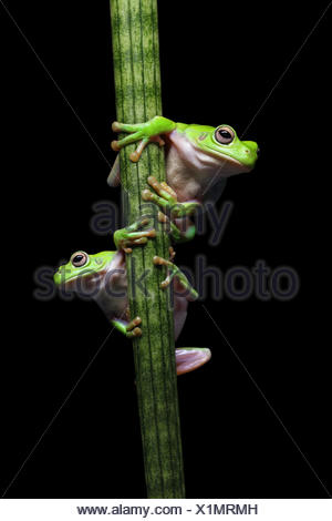 Two frogs climbing up a plant - Stock Photo