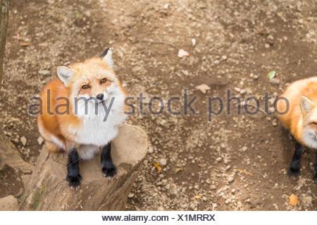 Fox looking up - Stock Photo