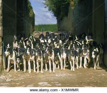 Great Anglo-French White and Black Hound, Pack for Fox hunting - Stock Photo
