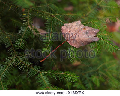 Fallen maple leaf covered with dew drops on balsam fir (Abies balsamea), Ontario, Canada - Stock Photo