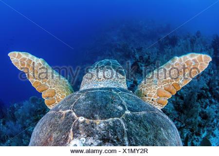 Loggerhead Sea Turtle, Caretta caretta, Turneffe Atoll, Caribbean, Belize - Stock Photo