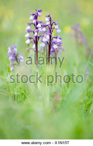 Green Winged Orchid Anacamptis morio UK - Stock Photo