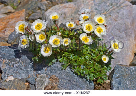 glacier crowfoot (Ranunculus glacialis), blooming between rocks, Austria - Stock Photo