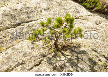 Hardship and survival concept. Young pine tree struggles to survive while growing in a rock. Photographed in the Spanish Pyrenees - Stock Photo