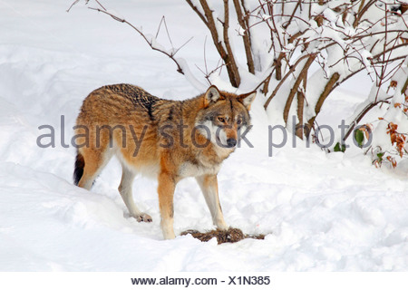 European gray wolf (Canis lupus lupus), in the snow, Germany - Stock Photo