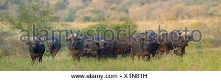 African buffalo (Syncerus caffer), herd walking through the savannah, South Africa, Hluhluwe-Umfolozi National Park - Stock Photo
