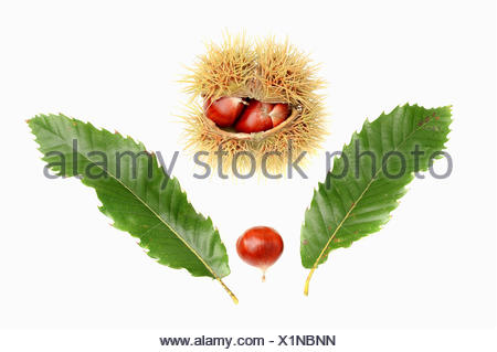 Sweet Chestnut (Castanea sativa), chestnuts and leaves - Stock Photo