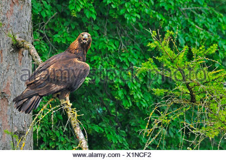 golden eagle (Aquila chrysaetos), on an outlook at a tree, Germany
