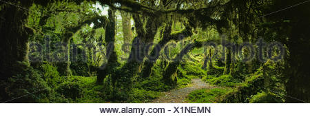 Panoramic view of moss covered trees in forest, Enchanted Forest, Queulat National Park, Patagonia - Stock Photo