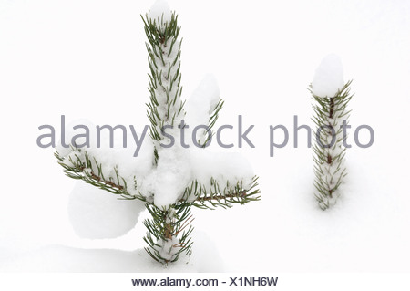 Spruce in snow Sweden - Stock Photo
