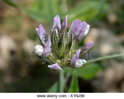 Arabian scurf pea, pitch trefoil, scurfy pea (Bituminaria bituminosa, Psoralea bituminosa), inflorescence