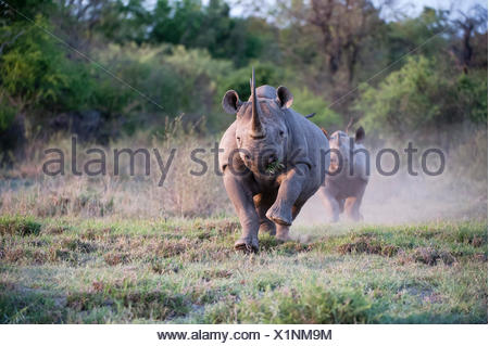 An adult female Black Rhinoceros (Diceros bicornis) charging with calf behind, Madikwe Game Reserve, South Africa - Stock Photo