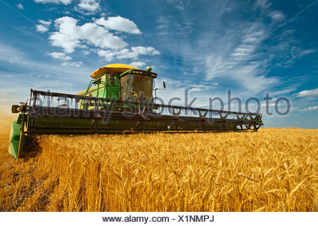 Agriculture - A John Deere combine harvests mature winter wheat in late afternoon light / near Kane, Manitoba, Canada. - Stock Photo