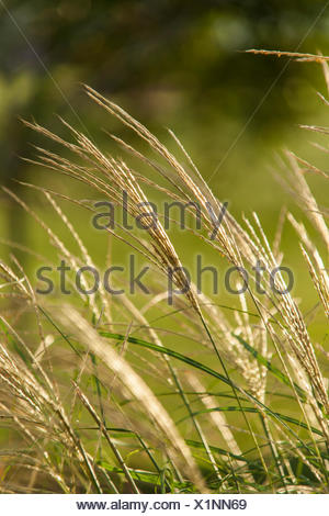 Pendulous wood sedge, Carex sylvatica, grows in Lancaster County. - Stock Photo