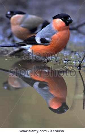 Bullfinch drinking water - Stock Photo