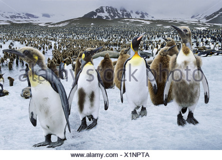 King Penguins St Andrews Bay South Georgia - Stock Photo