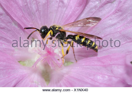Solitary digger wasp on Mallow flower - Northern Vosges - Stock Photo