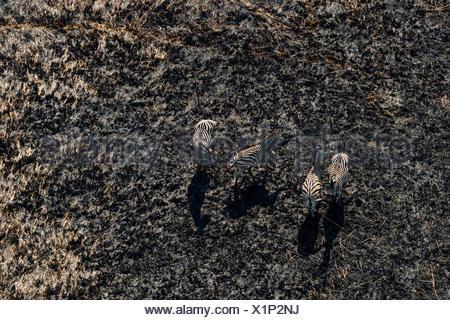Aerial view of a herd of plains zebras, Equus burchellii. - Stock Photo