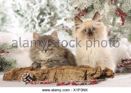 Christmas: Neva Masquarade and Siberian cat - kittens in the snow - Stock Photo