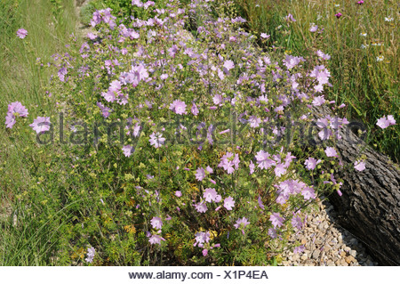 Vervain mallow - Stock Photo