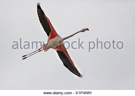 greater flamingo (Phoenicopterus roseus, Phoenicopterus ruber roseus), in flight, from below - Stock Photo