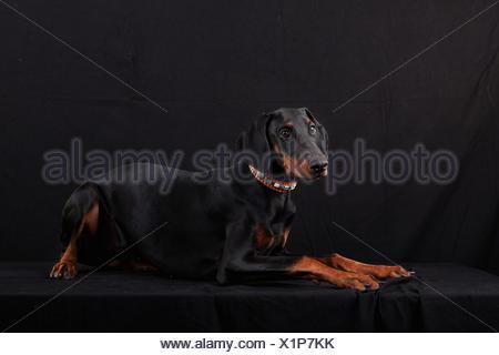 lying Doberman Pinscher - Stock Photo