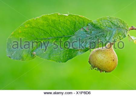 Common medlar (Mespilus germanica), fruit and leaf, North Rhine-Westphalia, Germany, Europe - Stock Photo