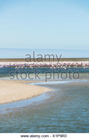 American Flamingoes (Phoenicopterus ruber), Lesser Flamingoes (Phoeniconaias minor), flamingo colony on sand bank at Walvis Bay - Stock Photo