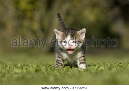 Katze, Kaetzchen miauend, lachend auf Wiese, Cat, kitten laughing, miaowing on a meadow - Stock Photo