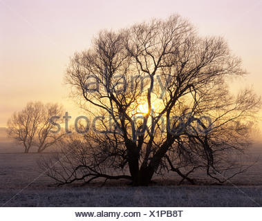 Willow tree (Salix sp.) at sunrise, Hassleben, Thuringia, Germany - Stock Photo