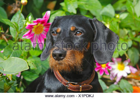 Wire-haired Dachshund, Wire-haired sausage dog, domestic dog (Canis lupus f. familiaris), black and tan nineteen months old male dog sitting in front of dahlias, portrait, Germany - Stock Photo
