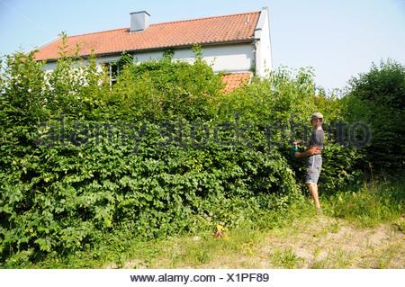 Shaping Hornbeam--Hedge - Stock Photo