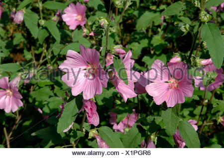 Lavatera olbia rosea flowers and leaves in mid summer Devon - Stock Photo