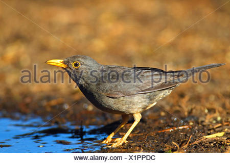 Olive thrush (Turdus olivaceus), standing at a drinking place, South Africa, North West Province, Barberspan Bird Sanctuary - Stock Photo